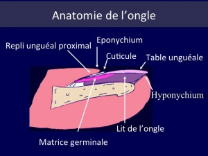 anatomie-ongle-schema