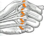 Il y a une bandelette sagittale de chaque côté de chaque tendon extenseur.
