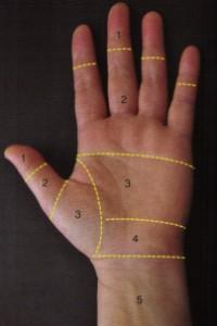 C'est dans la zone 2 que les sections des tendons fléchisseurs sont les plus fréquentes et les plus graves